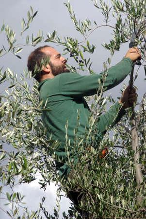 cueillette: R�colte des olives