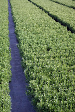 Growing plants rosemary Stock Photo - 6191338