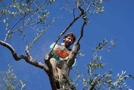 Hombre poda de olivo Foto de archivo