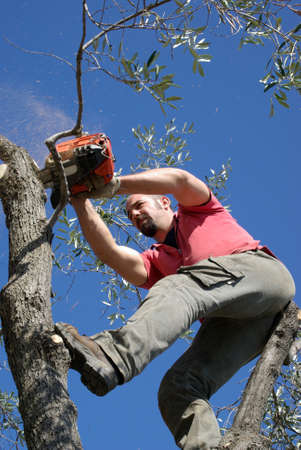 pruning: Man pruning of olive tree