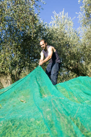 Harvesting olives  Stock Photo - 11487311