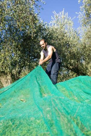 Harvesting olives Stock Photo - 11487311