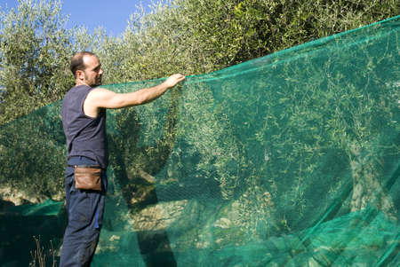 Harvesting olives 스톡 콘텐츠