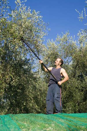 Harvesting olives Stock Photo - 11487474