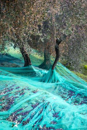 Tiempo de cosecha en el jardín de oliva