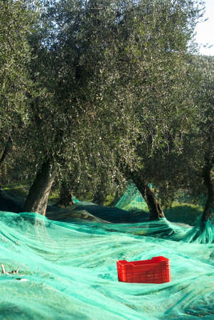 harvest time: Harvest time in olive garden Stock Photo