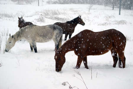 Horses in the snow Stock Photo - 11490246