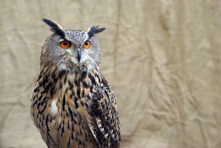 European eagle owl photo