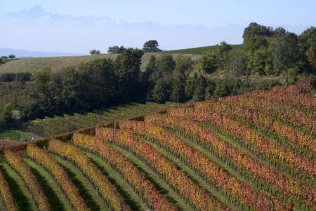 Vineyard in Langhe, Italy photo