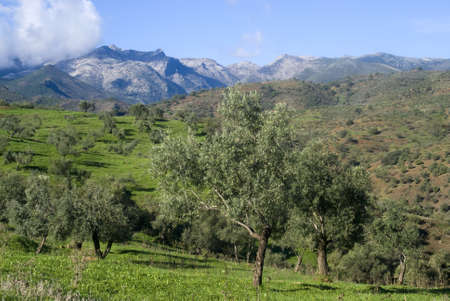 Olive orchards in the Andalusia region of Spain photo