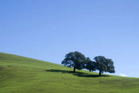 Oaks trees on hill photo