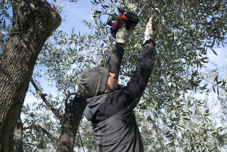 yard work: Man pruning of olive tree