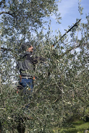 Man pruning of olive tree photo