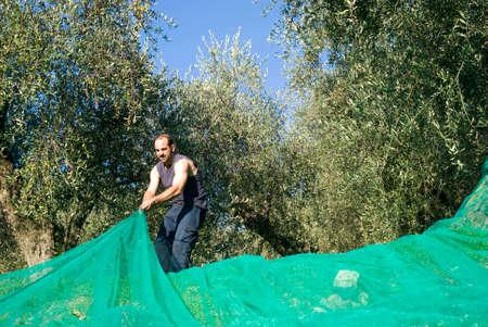 Harvest time in olive garden Stock Photo - 22285415