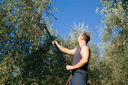 Harvest time in olive garden Stock Photo - 22285417