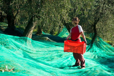 Harvest time in olive garden Stock Photo - 22285418