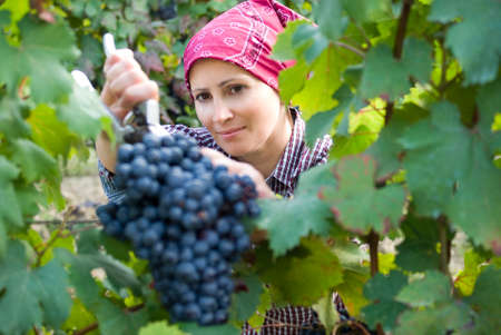 Woman picking grapes photo