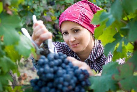 Mujer recogiendo uvas Foto de archivo