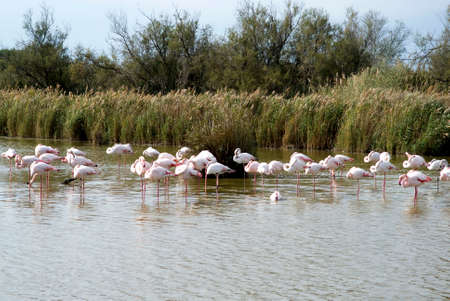 Flock of Flamingos photo