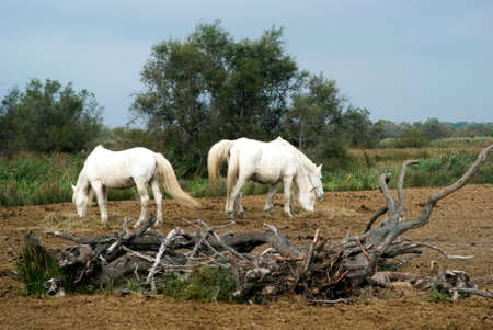 Camargue horses grazing in a nature reserve, Camargue, France photo