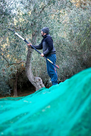 harvests: Farm worker harvests olives