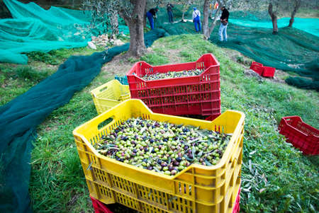 Harvest time in olive garden Stok Fotoğraf