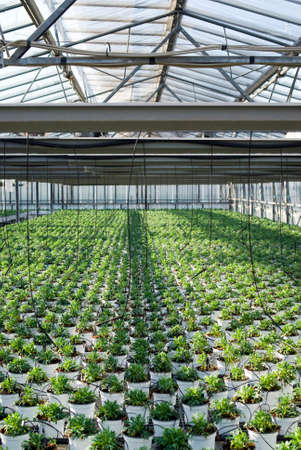 Commercial plants growing in greenhouse  photo