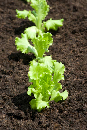 lettuces: Baby lettuces growing in a field Stock Photo