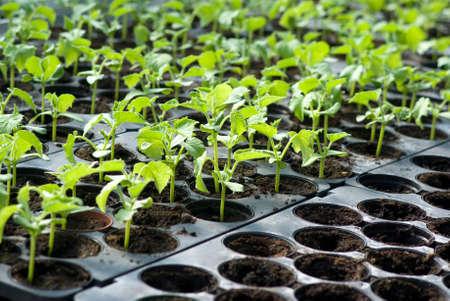 Plántulas de hortalizas orgánicas Foto de archivo