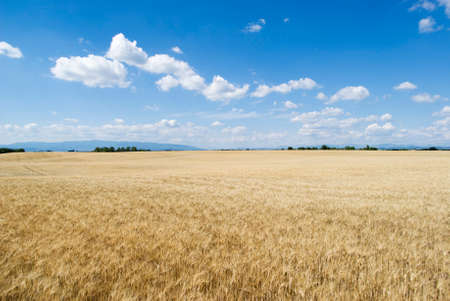 Wheat field with cloudy blue sky  photo