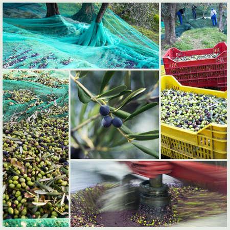 olive branch: Harvest time in olive garden Stock Photo
