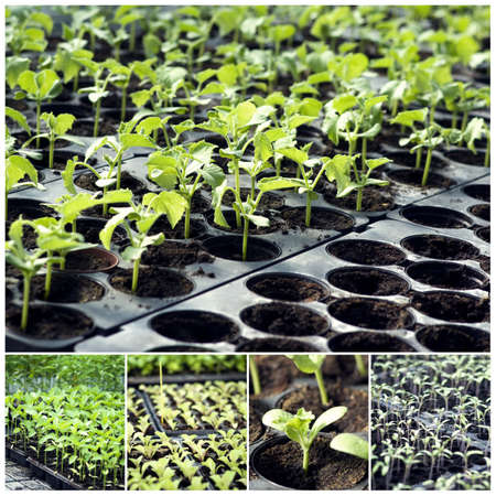 Organic vegetable seedlings photo