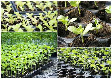 Organic vegetable seedlings photo