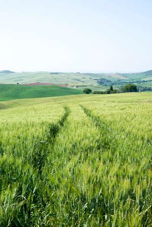 cropland: corn fields Stock Photo