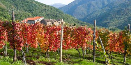 viñedo: Italia. Provincia de Imperia. Viñedo en otoño