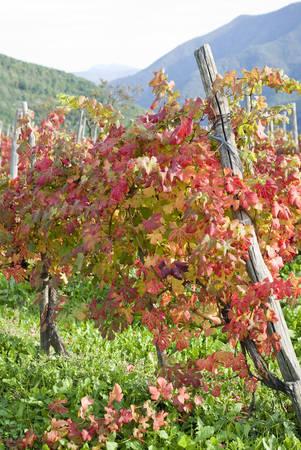 grapevine: Grapevine leaves in autumn