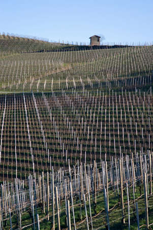 nebbiolo: Vineyards of the Langhe hills, Northern Italy