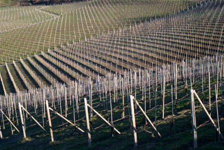 wintery day: Vineyards of the Langhe hills, Northern Italy
