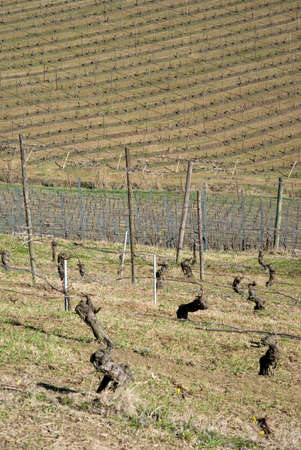 wintery day: Vineyards of the Langhe hills, Italy