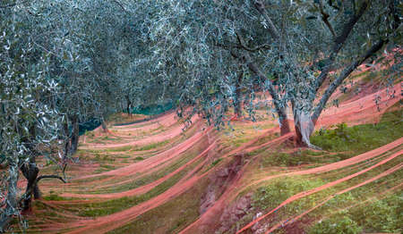 Harvest time in olive garden. Province of Imperia, Italy