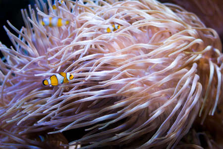 aqualung: Sea anemone Stock Photo