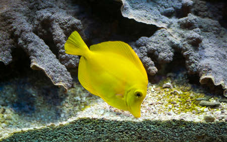 flavescens: Yellow tang (Zebrasoma flavescens) Stock Photo