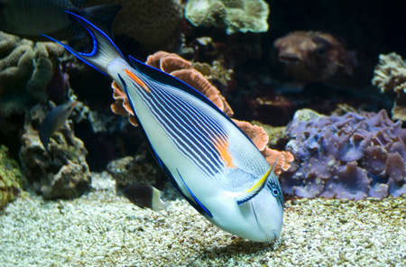 acanthurus: Colorful sohal fish (Acanthurus sohal) Stock Photo
