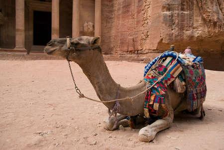 khazneh: Camel close up at Petra, Jordan