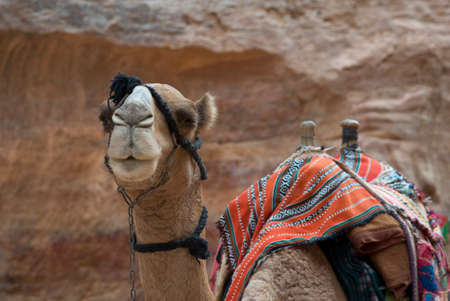 nabatean: Camel Stock Photo