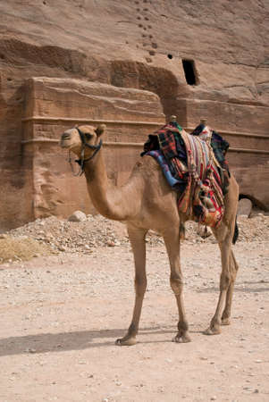 nabatean: A camel used for transportation, Petra, Jordan Stock Photo