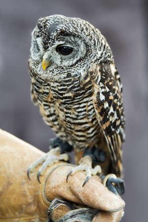 Close up of little Eurasian eagle owl