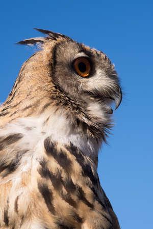 Eurasian eagle owl, Close up view