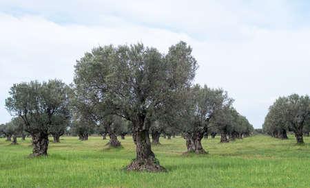 Olive Verger en Calabre en Italie