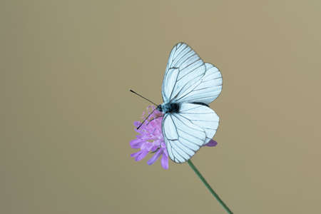fragility: Black-veined white butterfly at Knautia arvensis, commonly known as field scabious Stock Photo